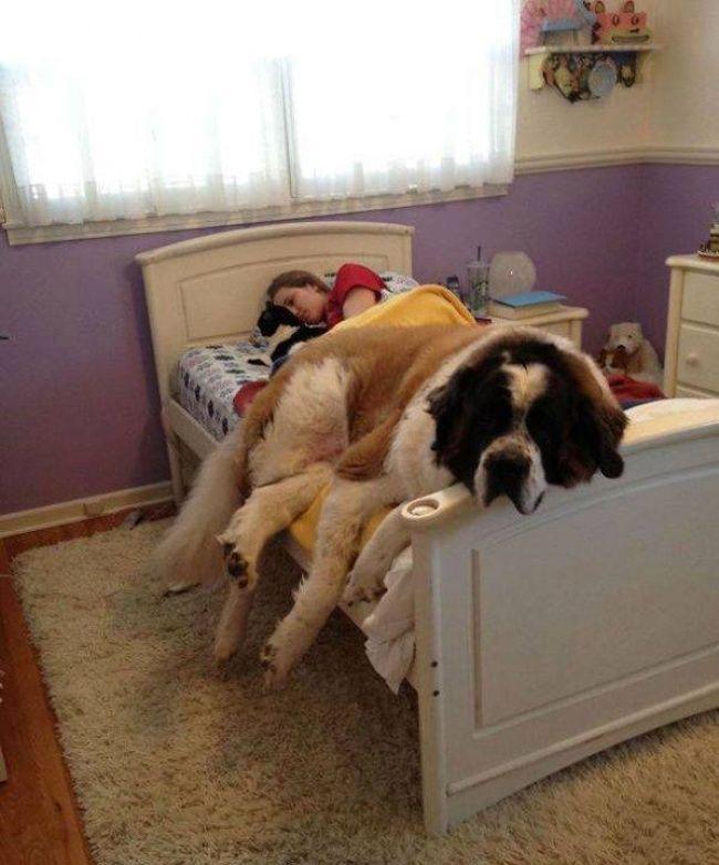 """Wenn dein Hund sich auf dir breit macht und denkt, er sei immer noch so klein und knuffig, wie er es als Welpe war, dann hast du mitunter ein """"Problem"""". Zumindest, wenn du einen """"Bernhardiner"""" hast!  Aber diese """"Strapazen"""" nimmt man als Hundebesitzer ja zu gerne auf sich. Zu zweit kuschelt es sich ja …"""