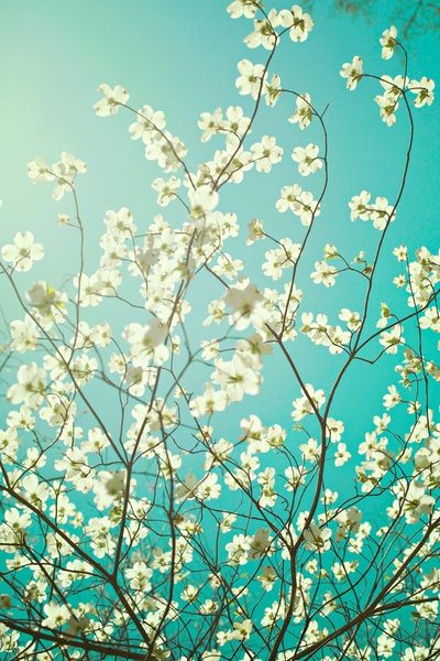 "The dogwoods are blooming. - $19.76 - Art Print/Mini (7"" x 10"") - by: Kim Fearheiley Photography - So gorgeous!"