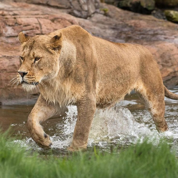 Protect Lions Week starts next Saturday 17th June!  We're raising money all week for The African Lion and Environmental Research Trust (ALERT).    #WMSP #Lions #AfricanLions #Conservation #WildlifeConservation #Wildlife #Nature #WestMidSafari #Amazing #Animals #Animal
