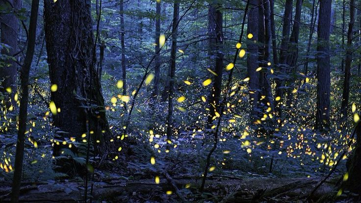 Results of the synchronousfirefly lottery are available on May 10. Applications for the lottery run from April 28 through May 1.