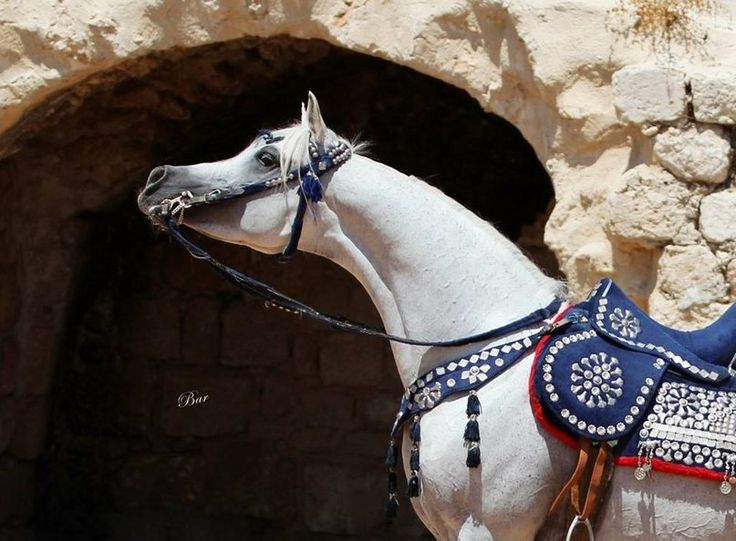 «Arabian Times›› |арабские лошади|