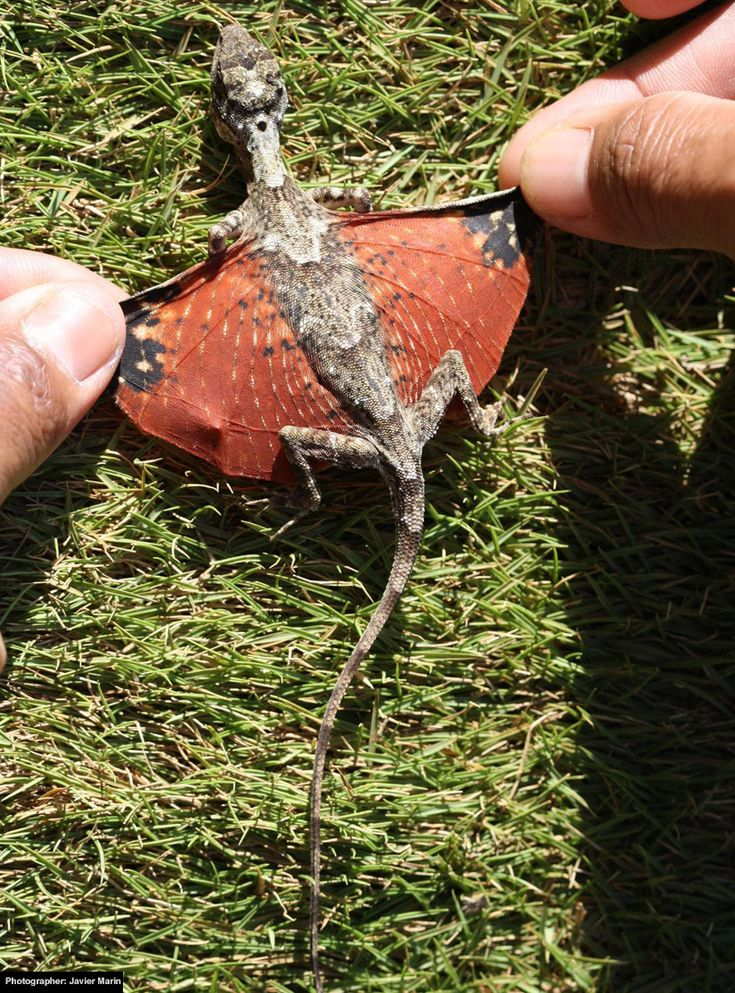 """It's a real, live mini-dragon! Yet another critter to add to my true life pokemon collection.  Apparently there are actually more than 45 species of """"gliding lizards"""" like this in Southeast Asia.  This one is Draco Beccarii."""