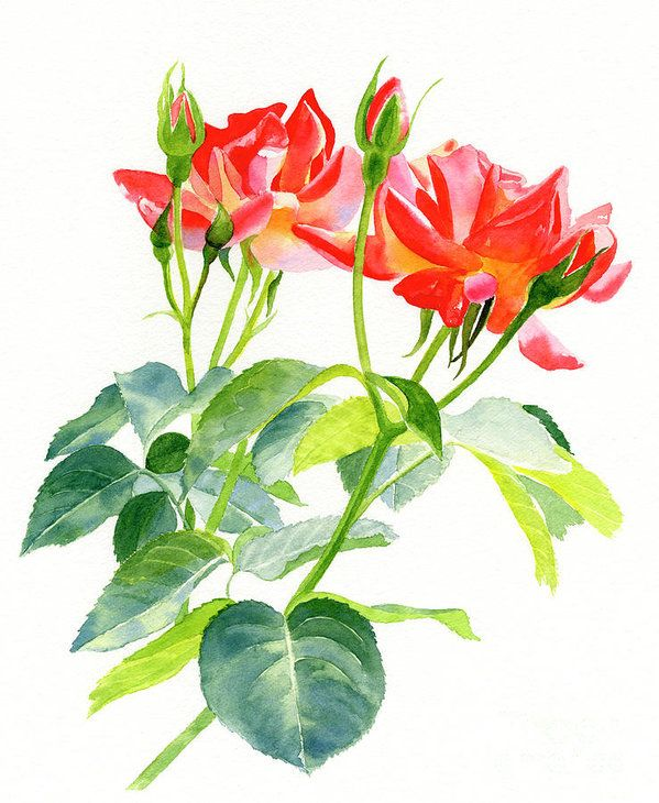 Red Orange Rose Blossoms With Buds Art Print By Sharon Freeman Floral Watercolor Floral Watercolor Paintings Red Art Print