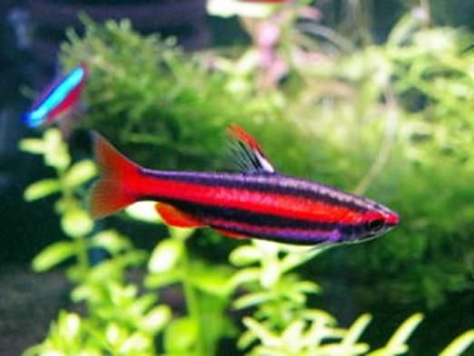 Red Pencil Fish. Tropical Fresh Water.
