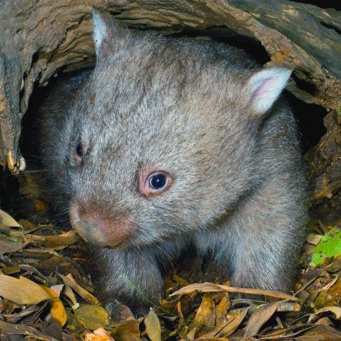 Common Wombat of Australia