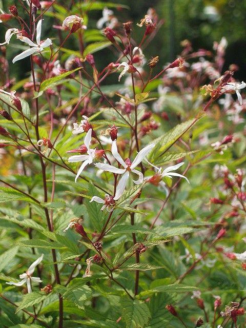 Gillenia trifoliata | VASTE PLANTEN | Tuinplanten stekplek
