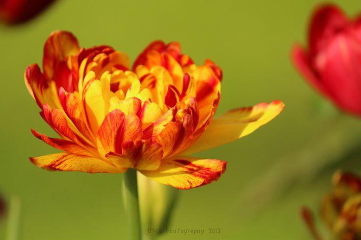 Questo tulipano era prevalentemente rosso l'anno scorso, quest'anno il colore che predomina è giallo. La natura dipinge in modo meraviglioso .... :)