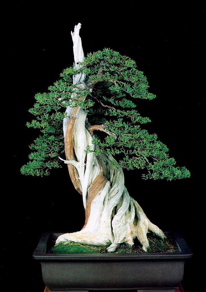 Sheer power displayed by another california native this for Famous bonsai trees