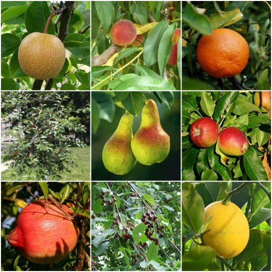21 Best Dwarf Trees For Containers | Grow your own edible garden even in small spaces.