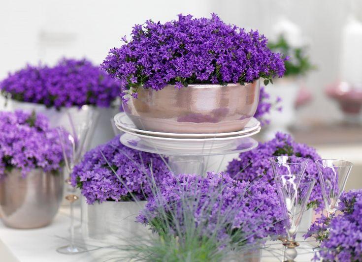 http://www.newplantsandflowers.com/wp-content/uploads/Campanul-Ambella-photo-Addenda.jpg