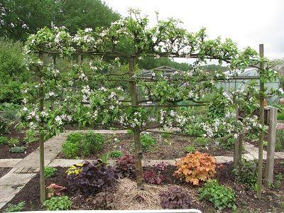 Voorbeelden laagstam fruit met behulp van 2 oog of 3 oog krulpinnen kun je een frame maken - Hoe een heuvelachtige tuin te plannen ...