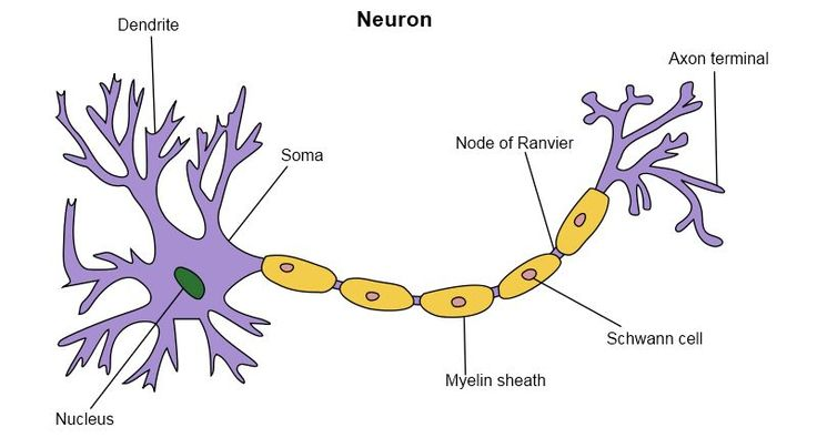 Neuron Model - Bing Images