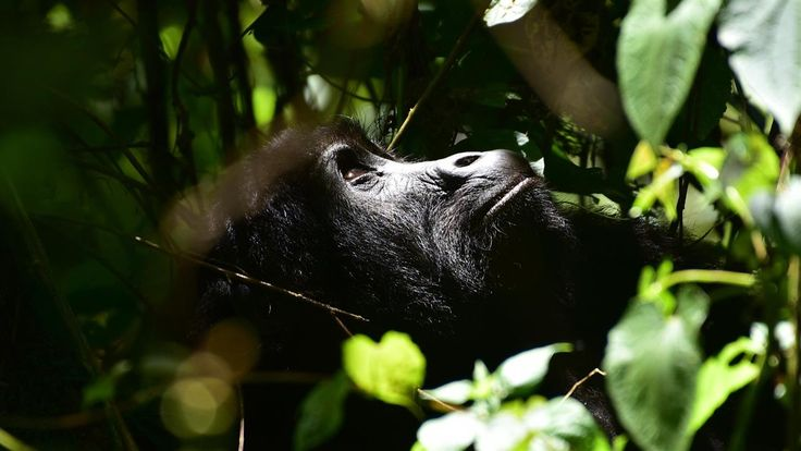 Kahuzi-Biega National Park in Democratic Republic of Congo is the only place where visitors can see the largest gorillas in the world: the eastern lowland gorilla. The park is hoping to increase ecotourism by habituating more of the silverbacks to be comfortable around humans. Video: Madeline Marshall. Photo: Michael M. Phillips/The Wall Street Journal