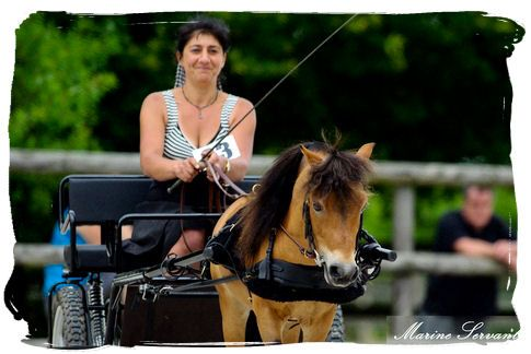 Attelage cheval miniature