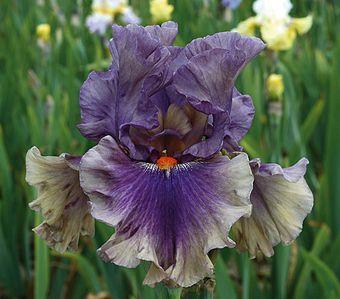 Schreiner's Iris, Berry Scary