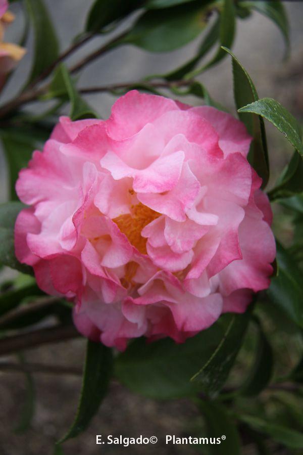 Camellia japonica Nuccio´s Jewel