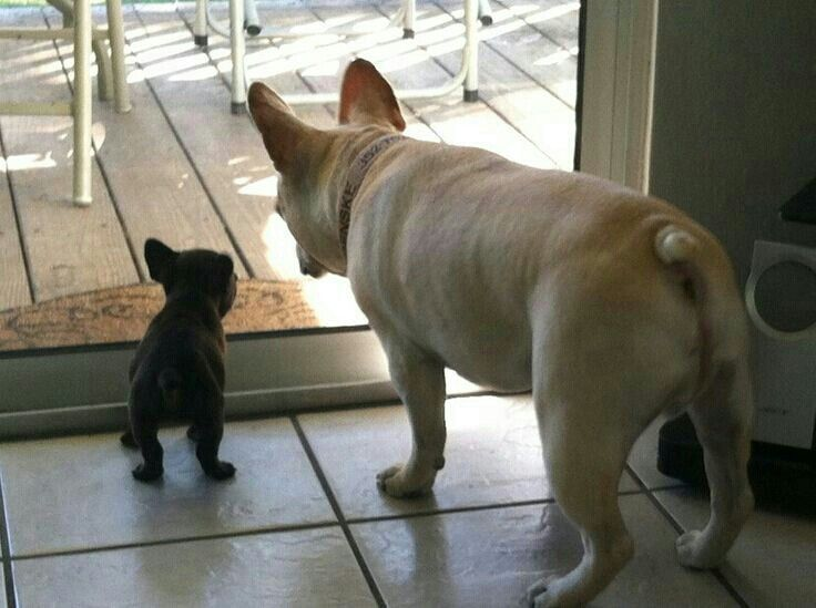 """""""Mom, I wanna go out and play"""", French Bulldog Puppy and mom."""