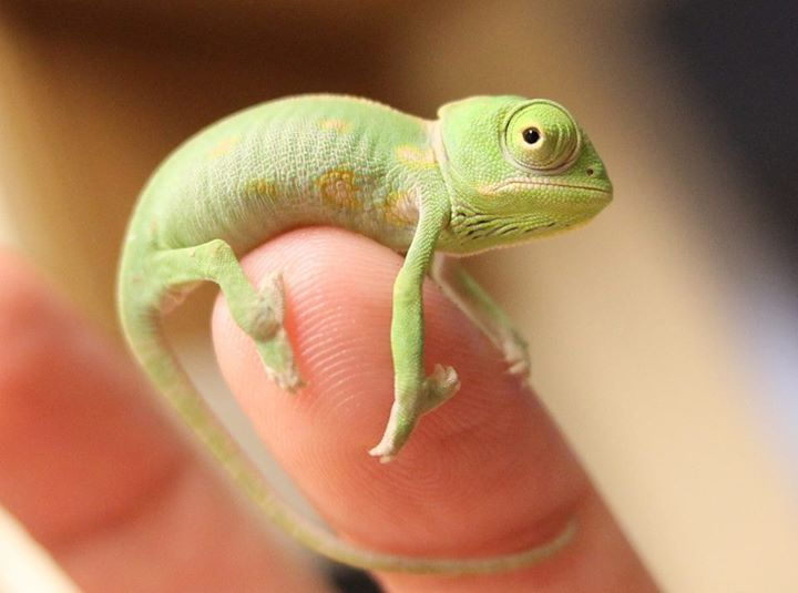 Yoda, three week old chameleon