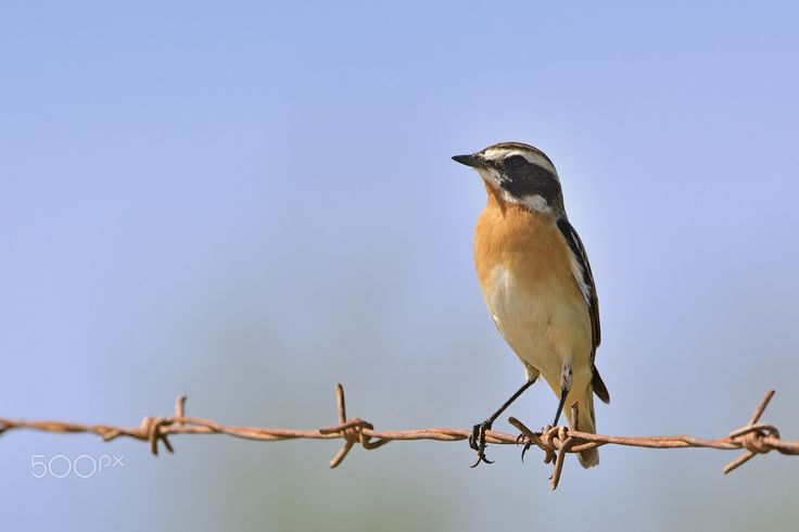Male Winchat - Thank you all for paying attention on my work, your likes and your comments