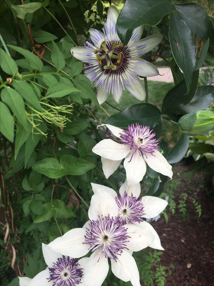 77 best images about clematis on pinterest white flowers for Clematis florida