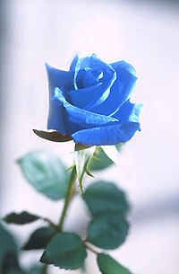 La Rosa Azul: una de mis flores preferidas... he conseguido tenerla!