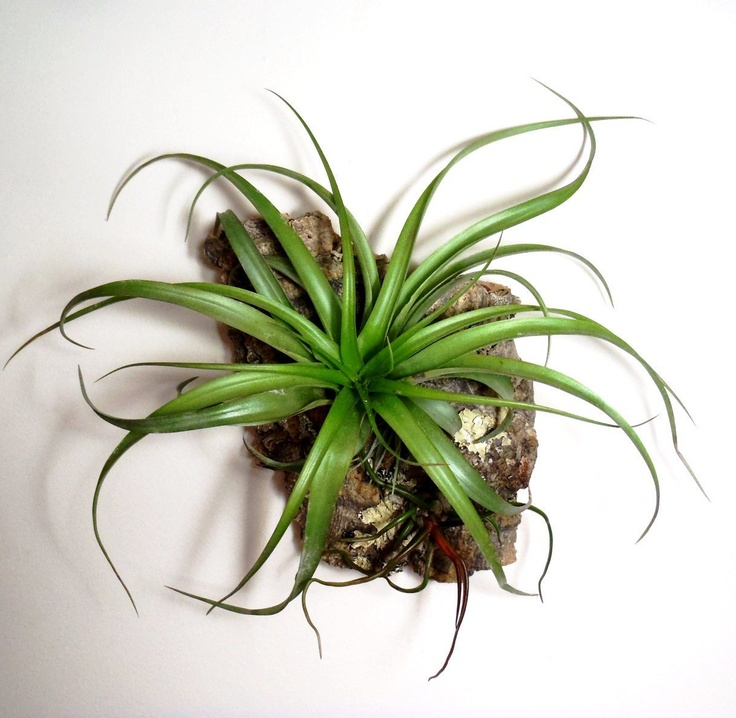 106 best air plants or tillandsia images on pinterest for Air plant art