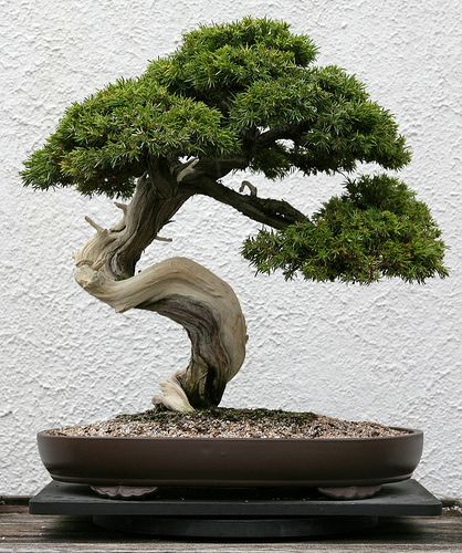 Image detail for -Picture of a potted bonsai tree