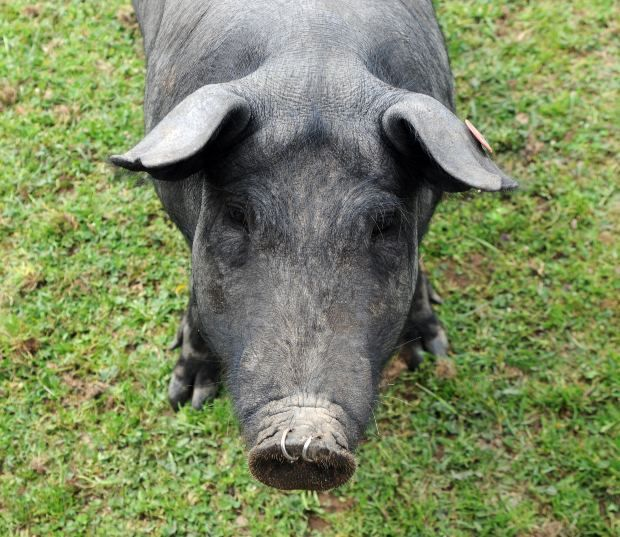 Raising pigs without smell and on the cheap the for Where to buy cheap land for homesteading