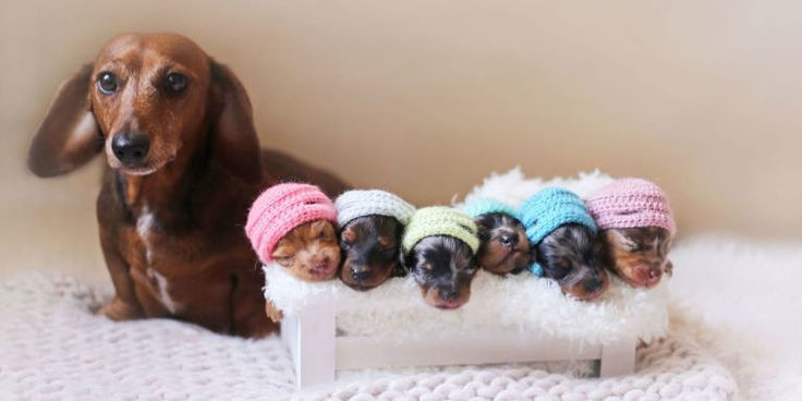 This Adorable Newborn Puppy Photo Shoot Will Make Your Heart Melt  -  a dachshund and her babies, plus pics of the expectant parents.  adorable!     lj