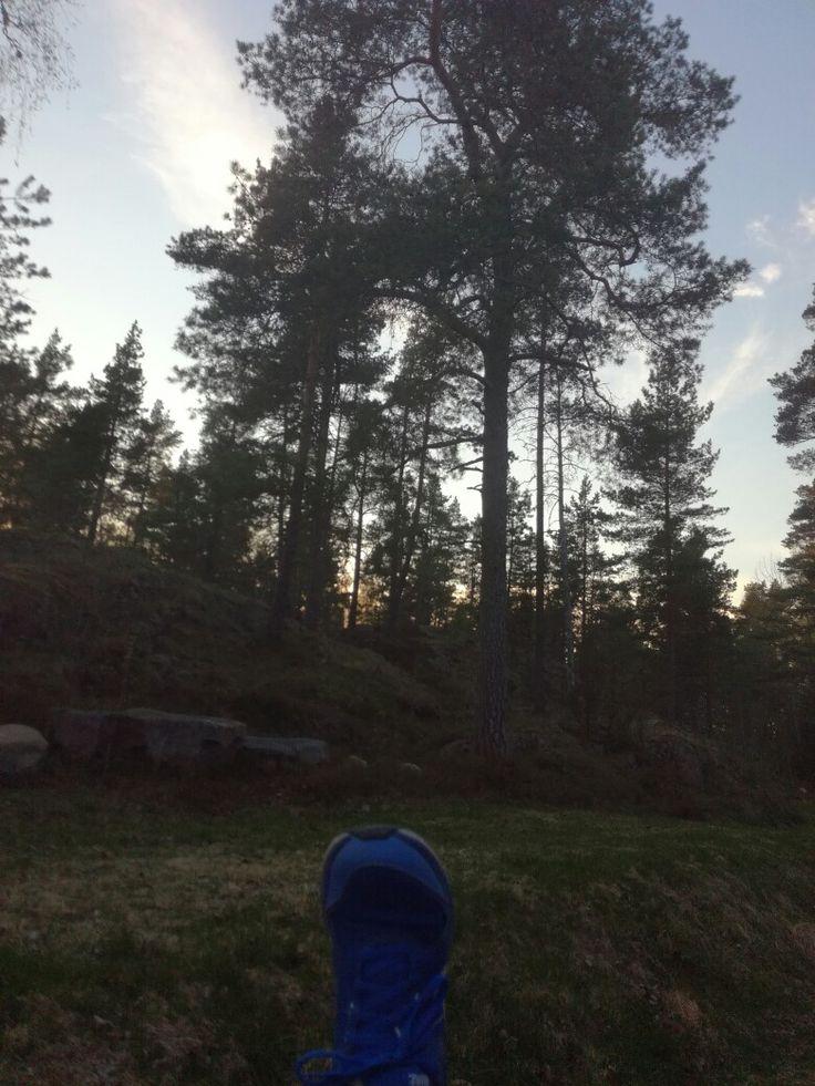 Mänty (pinus sylvestris) 19.5 metsäpolku
