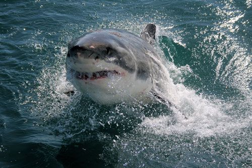 photo showing a great white shark popping out of the water