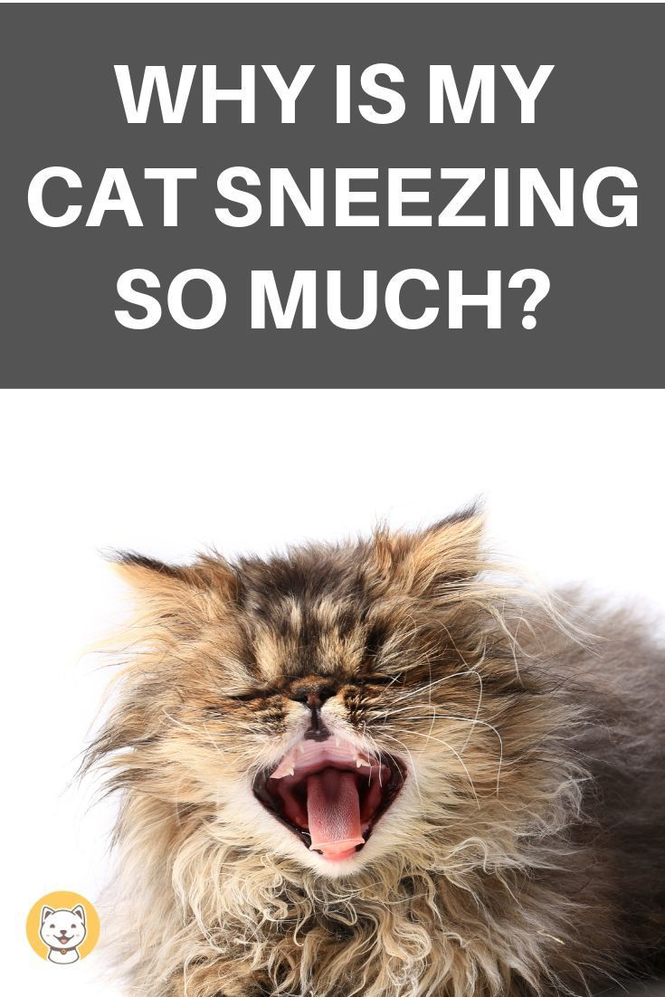 Why Is My Cat Sneezing So Much Kitty Cats Blog Cat Sneezing Cat Health Problems Cat Health