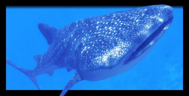 El Tiburón Ballena en México | México Desconocido