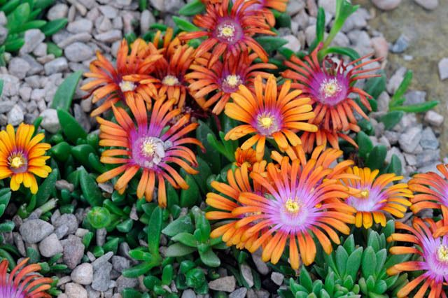 17 Best Ideas About Ice Plant On Pinterest Ground Cover