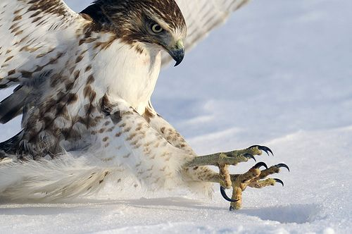 red-tailed hawk talons, by Steve Courson   Flickr