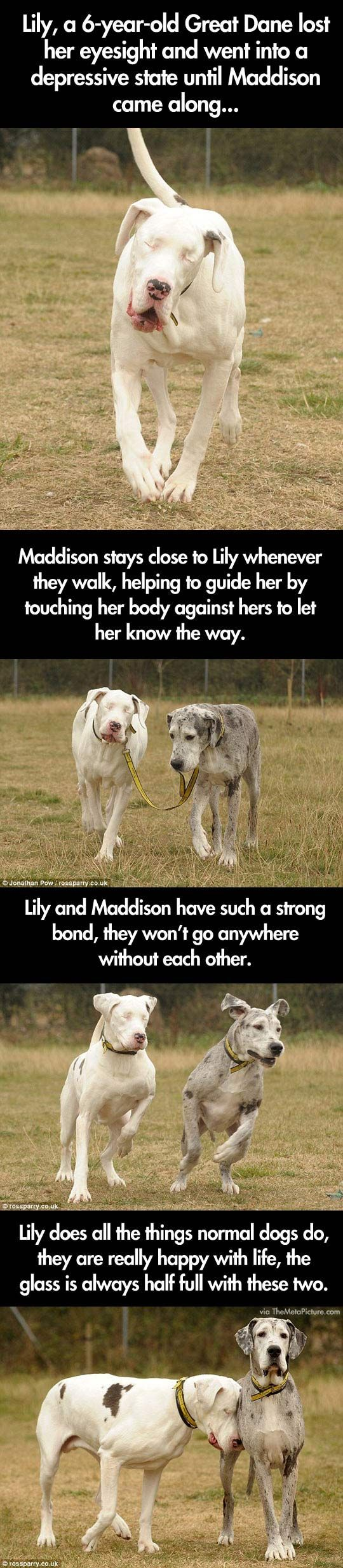 Blind Great Dane and her guide