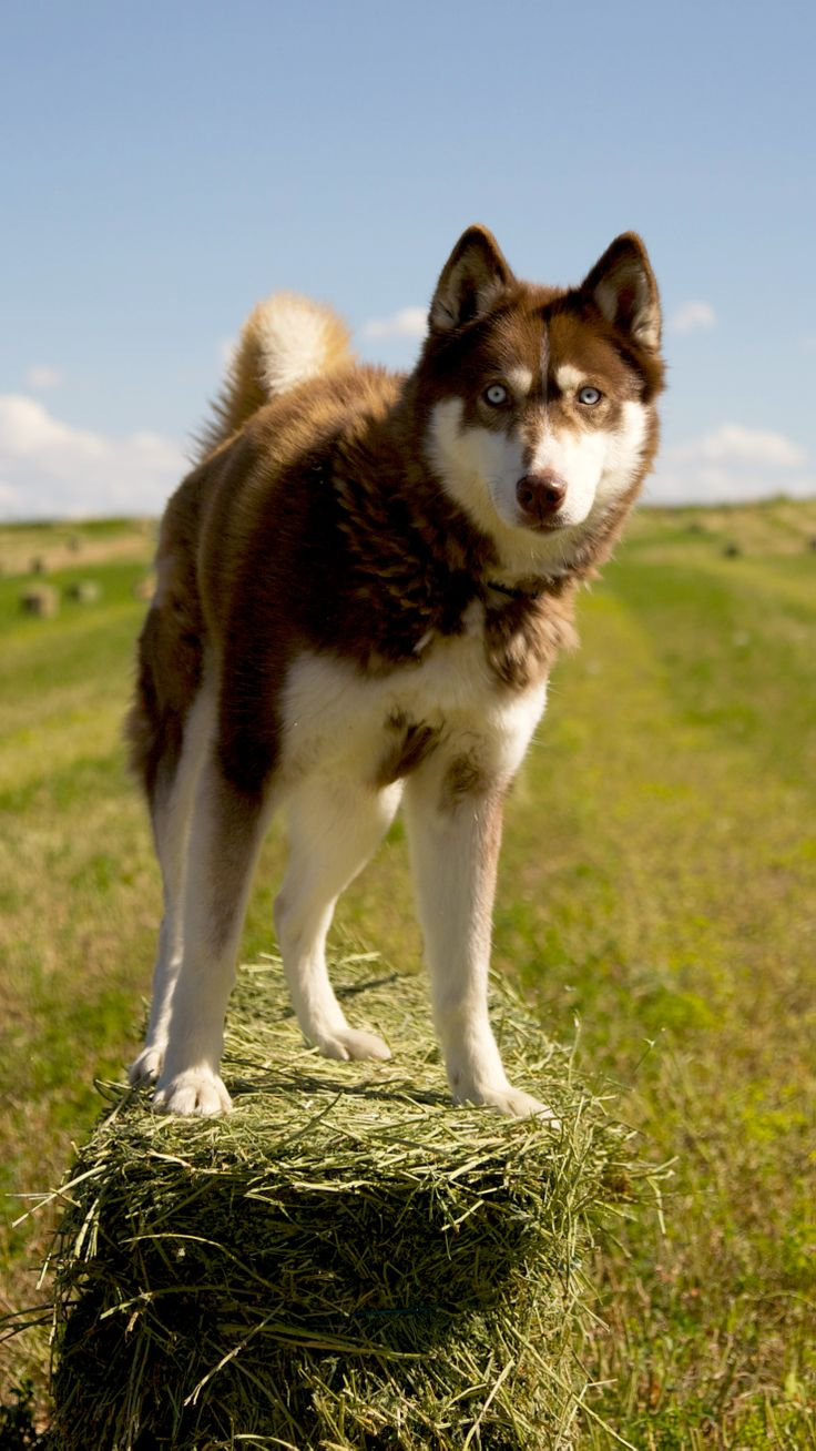 Scarlet, Siberian Husky.