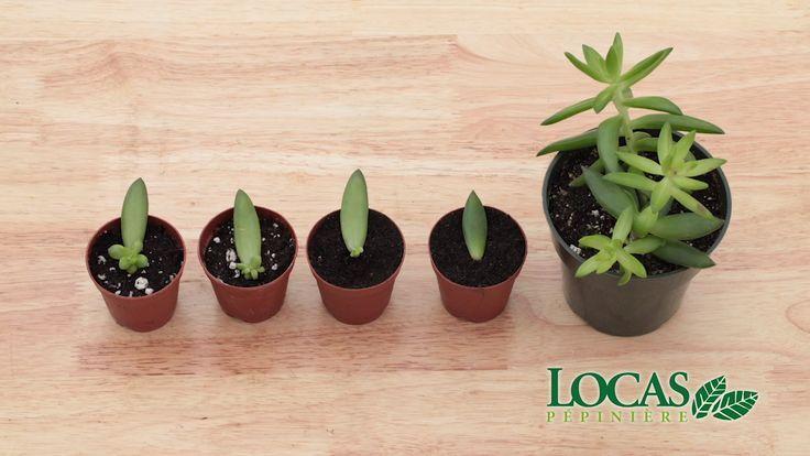 Comment Multiplier Ses Plantes Grasses Dans Cette Video