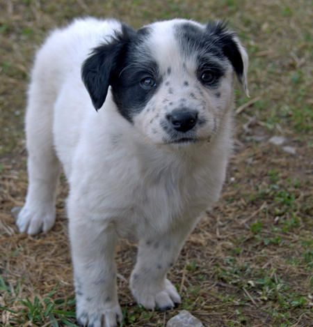 Border Collie Mix puppy.....went to idaho humane sicity to get my cat fixed...walked through the dog kennels, found the cutest little boy which was a border collie mix, that my heart melted for, and who is 3 months old...he is the cutest dang pup in the world....i want him!!