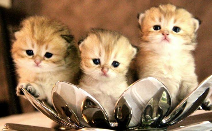 Les bébés Golden - Mâles - British longhair black golden shaded.