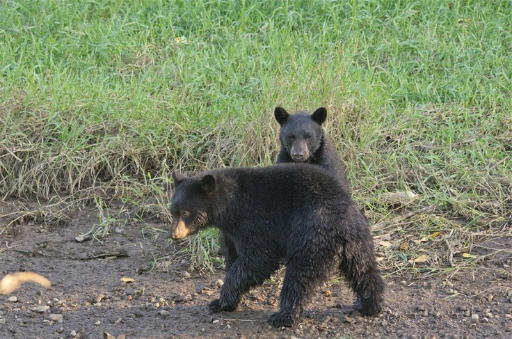 black bears playing-North Vancouver