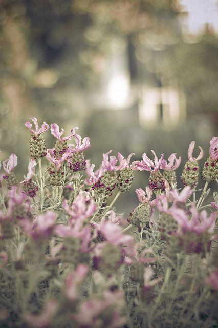 923 besten lavender bilder auf pinterest lavendelfelder die farbe lila und flieder. Black Bedroom Furniture Sets. Home Design Ideas