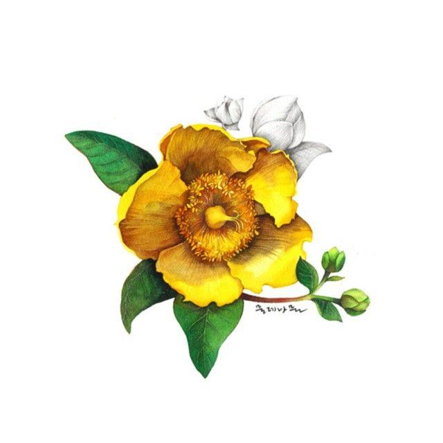 물레나물 꽃말은 '추억' #illustration #일러스트 #artwork #wildflowers  #야생화 #노란 #물레나물 #watercolor #수채화 #꽃말 #추억  고맙다 살아나줘서.. #집착 덩어리 #꽃