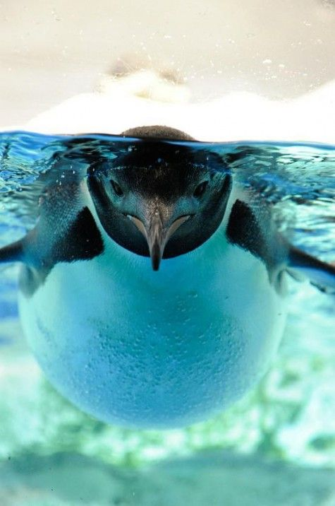 .: Photos, Animal Kingdom, Underwater, Beautiful, Penguins, Things, Birds, Natural, Photography