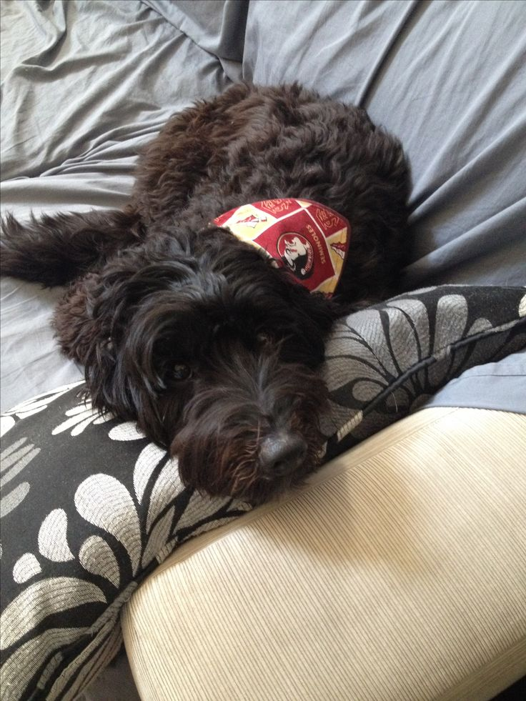 FSU bandana on black labradoodle!! She's so cute!!