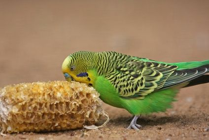 How to Keep a Parakeet Budgies Cage Clean of Birdseed