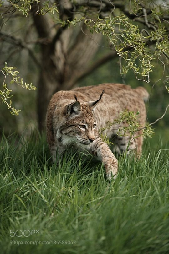 Photo To Art Guy Blog  /  Eurasian Lynx by ColinLangford 1