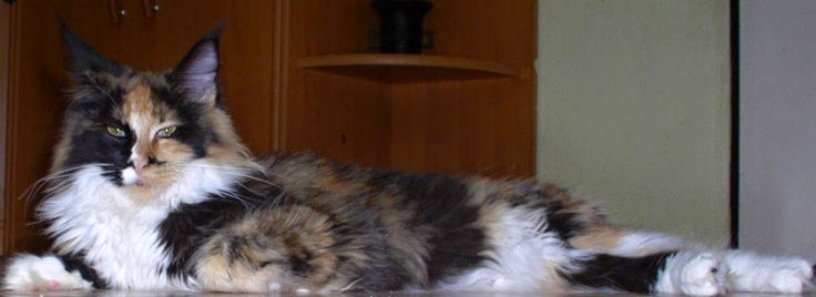 Maine Coon - Mainská mývalí kočka: Cassiopea