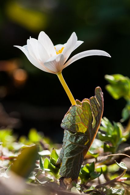 Woodland flower. Bloodroot