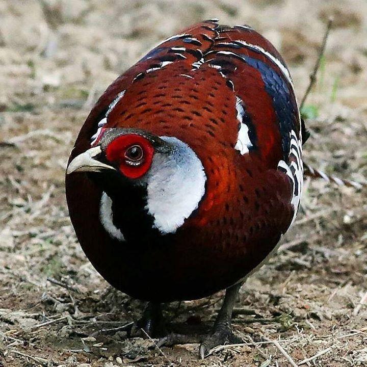 Namanya Elliot Pheasant.. Baru masuk Impor.. Dan bisa langsung di pesan sahabat Penghobi Ternak... Monggo... #pheasant #ternakpheasent http://ift.tt/2mHonq6